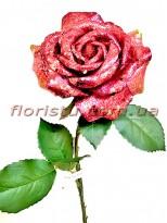 Роза новогодняя Бордо премиум класса 55 см гол. 12 см