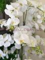 Орхидеи фаленопсис премиум класса в вазоне Белые 9 веток 130 см